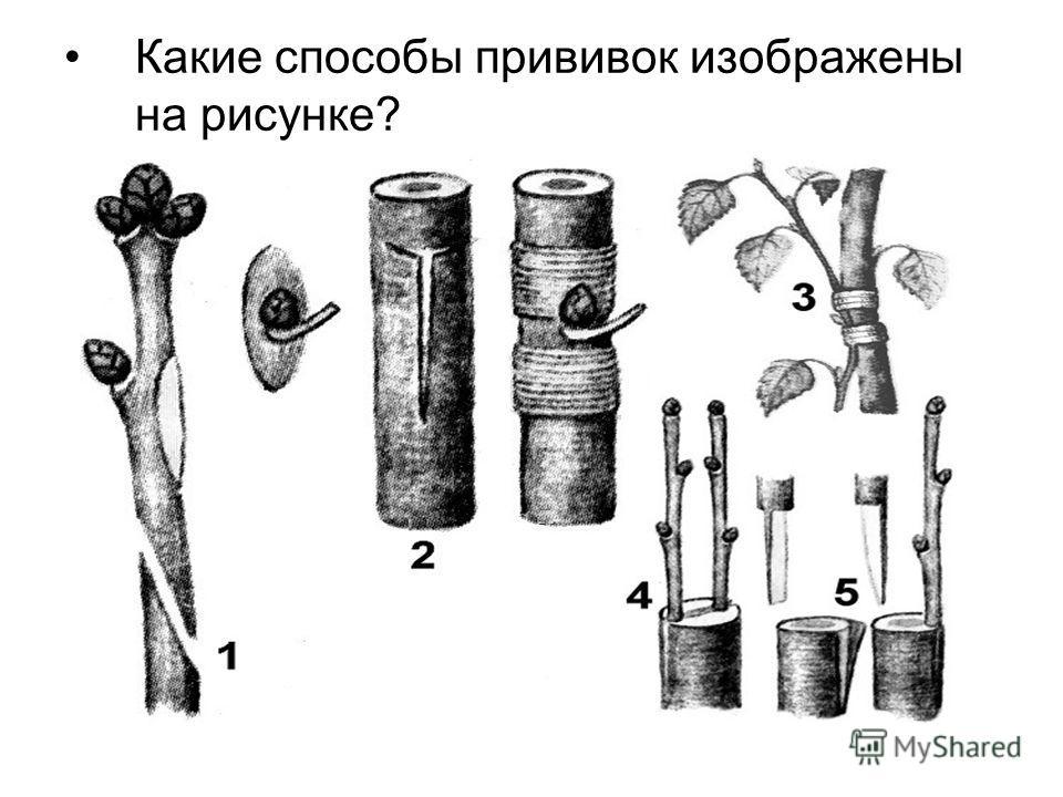 Какие способы прививок изображены на рисунке?