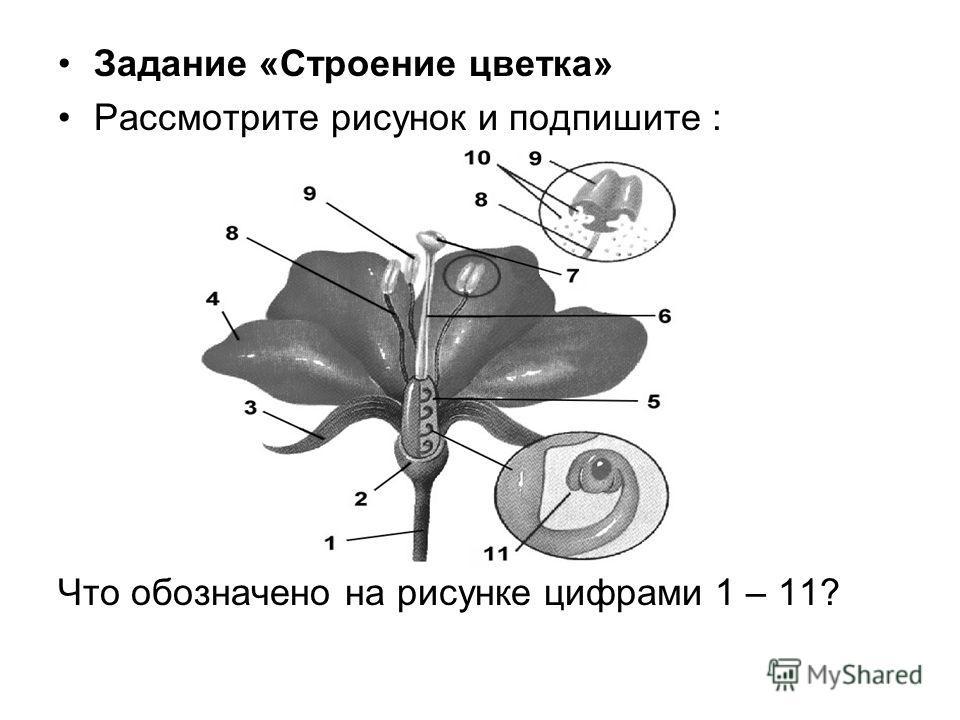 Задание «Строение цветка» Рассмотрите рисунок и подпишите : Что обозначено на рисунке цифрами 1 – 11?