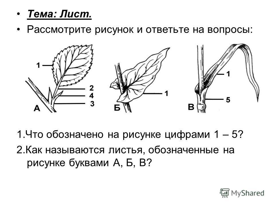 Тема: Лист. Рассмотрите рисунок и ответьте на вопросы: 1.Что обозначено на рисунке цифрами 1 – 5? 2.Как называются листья, обозначенные на рисунке буквами А, Б, В?