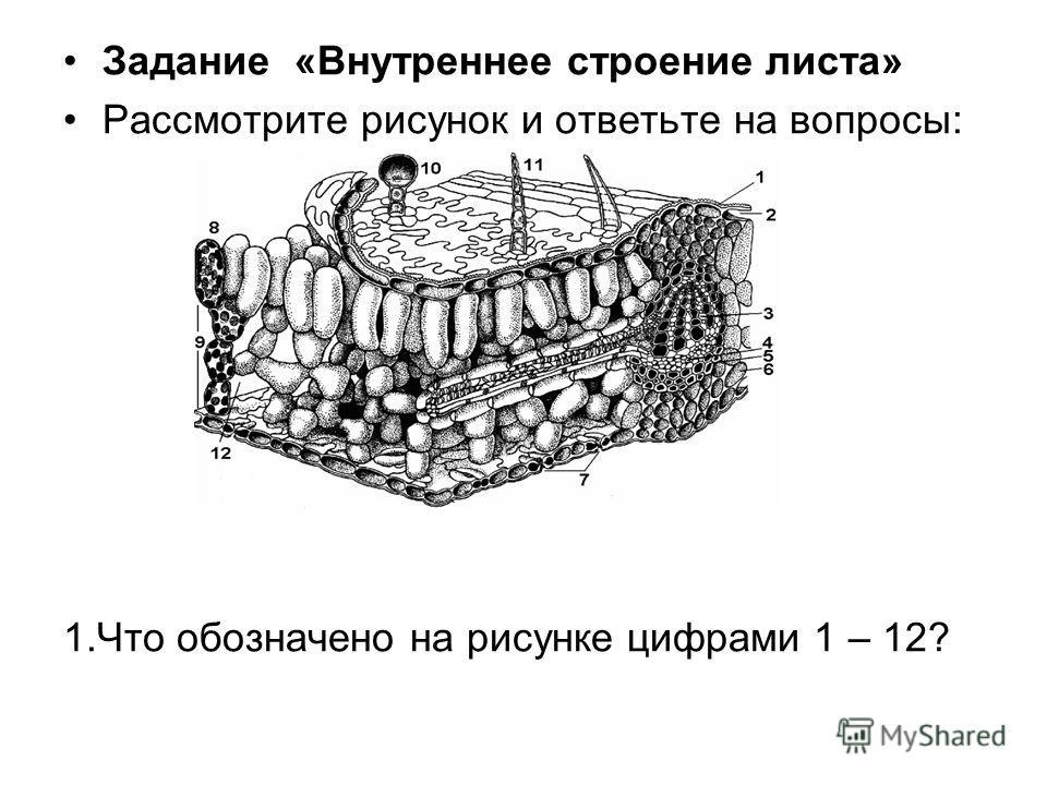 Задание «Внутреннее строение листа» Рассмотрите рисунок и ответьте на вопросы: 1.Что обозначено на рисунке цифрами 1 – 12?