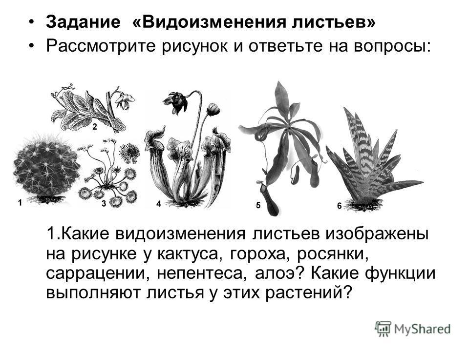Задание «Видоизменения листьев» Рассмотрите рисунок и ответьте на вопросы: 1.Какие видоизменения листьев изображены на рисунке у кактуса, гороха, росянки, саррацении, непентеса, алоэ? Какие функции выполняют листья у этих растений?