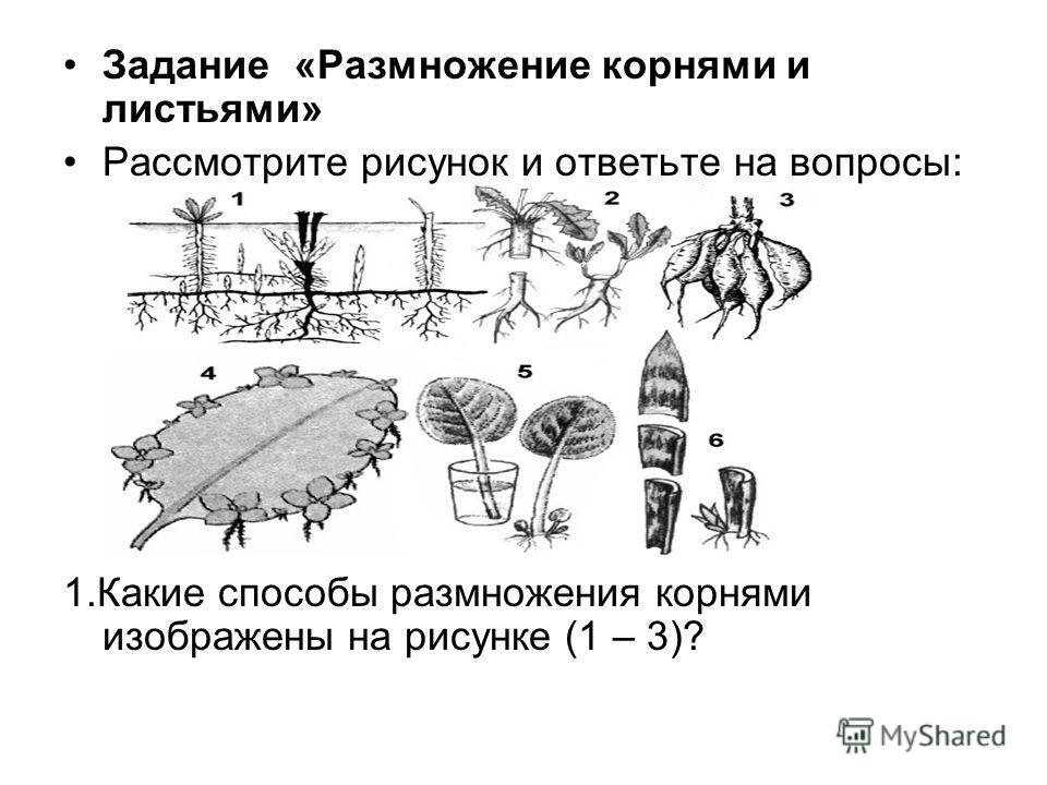 Задание «Размножение корнями и листьями» Рассмотрите рисунок и ответьте на вопросы: 1.Какие способы размножения корнями изображены на рисунке (1 – 3)?