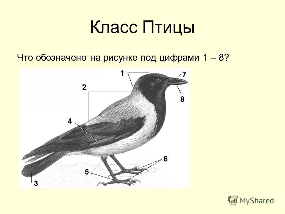 Класс Птицы Что обозначено на рисунке под цифрами 1 – 8?