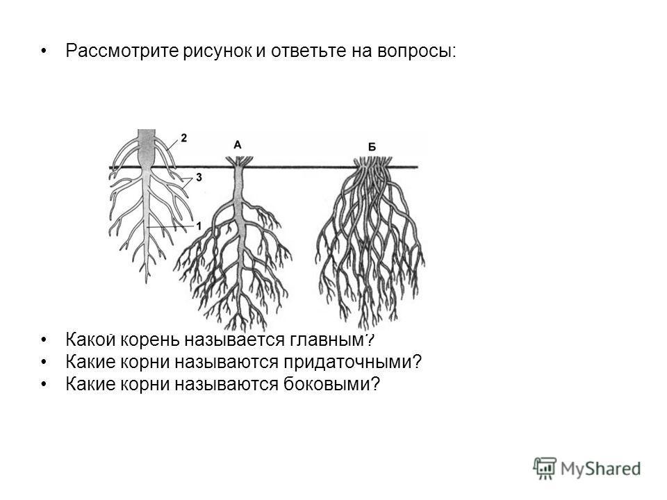 Рассмотрите рисунок и ответьте на вопросы: Какой корень называется главным? Какие корни называются придаточными? Какие корни называются боковыми?