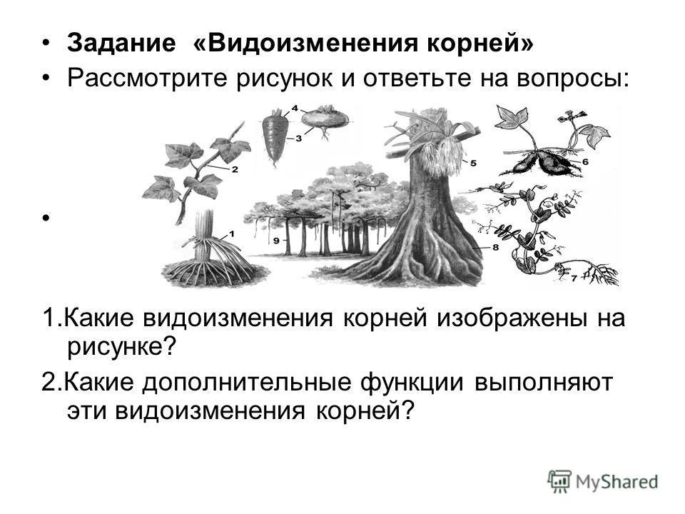 Задание «Видоизменения корней» Рассмотрите рисунок и ответьте на вопросы: 1.Какие видоизменения корней изображены на рисунке? 2.Какие дополнительные функции выполняют эти видоизменения корней?