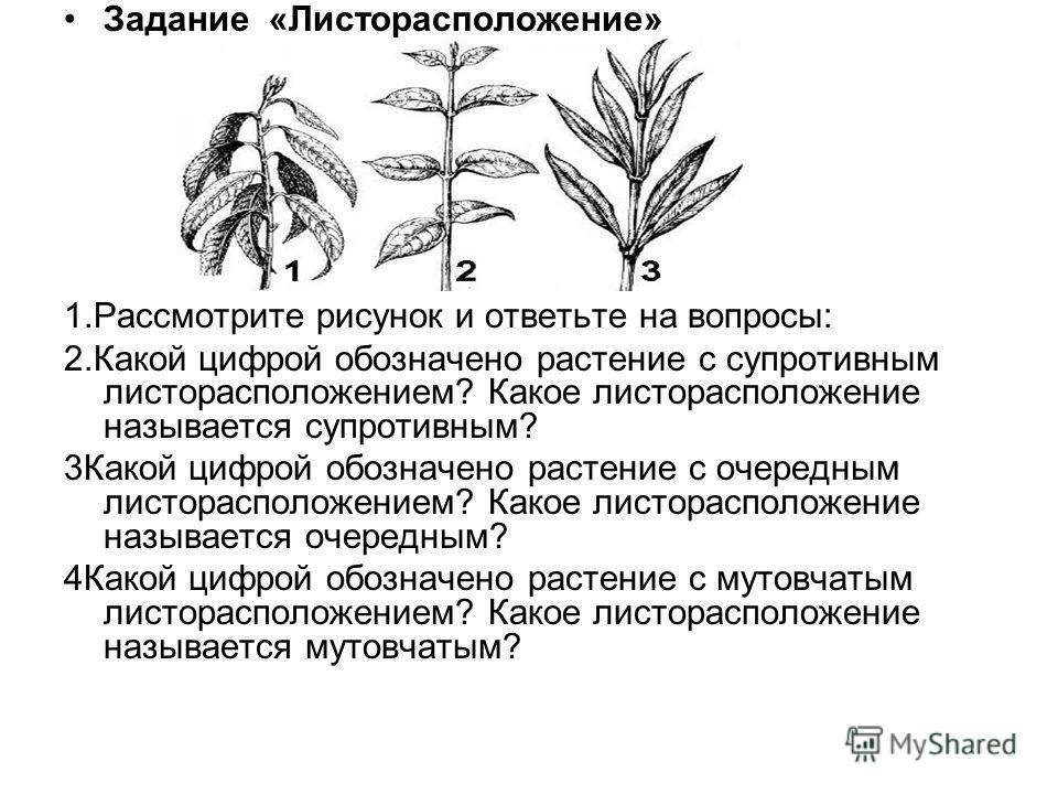 Задание «Листорасположение» 1.Рассмотрите рисунок и ответьте на вопросы: 2.Какой цифрой обозначено растение с супротивным листорасположением? Какое листорасположение называется супротивным? 3Какой цифрой обозначено растение с очередным листорасположе