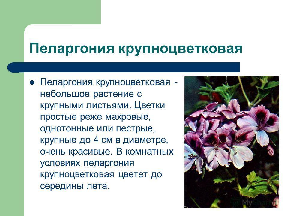 Пеларгония крупноцветковая Пеларгония крупноцветковая - небольшое растение с крупными листьями. Цветки простые реже махровые, однотонные или пестрые, крупные до 4 см в диаметре, очень красивые. В комнатных условиях пеларгония крупноцветковая цветет д
