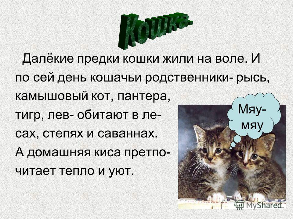Далёкие предки кошки жили на воле. И по сей день кошачьи родственники- рысь, камышовый кот, пантера, тигр, лев- обитают в ле- сах, степях и саваннах. А домашняя киса претпо- читает тепло и уют. Мяу- мяу