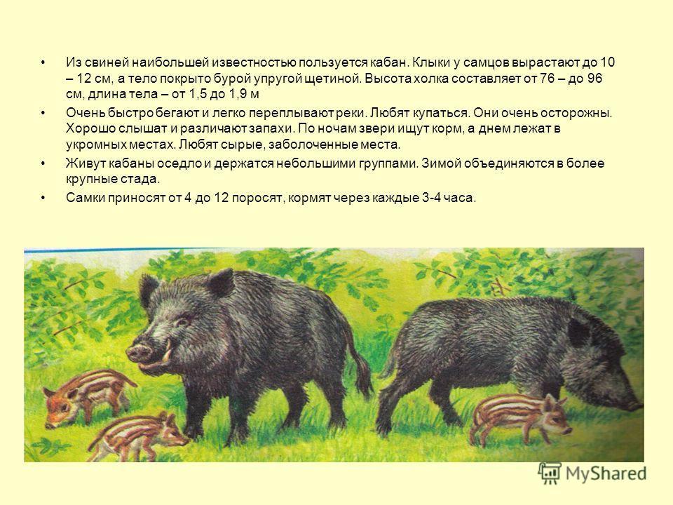 Из свиней наибольшей известностью пользуется кабан. Клыки у самцов вырастают до 10 – 12 см, а тело покрыто бурой упругой щетиной. Высота холка составляет от 76 – до 96 см, длина тела – от 1,5 до 1,9 м Очень быстро бегают и легко переплывают реки. Люб