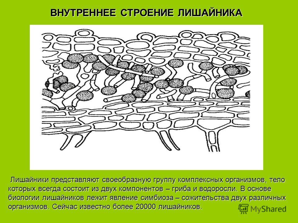 Лишайники представляют своеобразную группу комплексных организмов, тело Лишайники представляют своеобразную группу комплексных организмов, тело которых всегда состоит из двух компонентов – гриба и водоросли. В основе биологии лишайников лежит явление