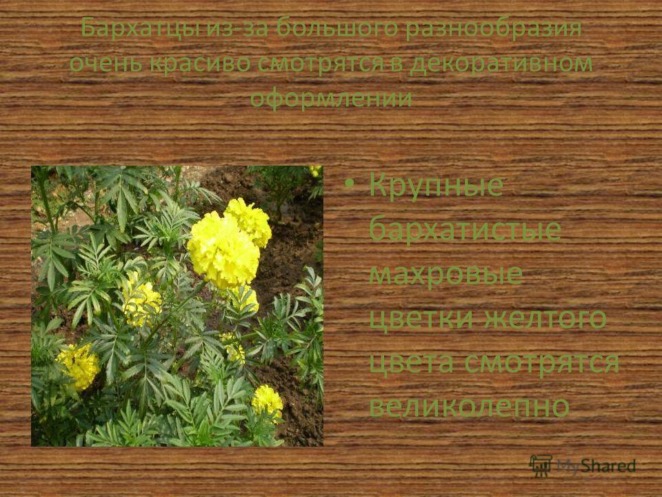 Бархатцы из-за большого разнообразия очень красиво смотрятся в декоративном оформлении Крупные бархатистые махровые цветки желтого цвета смотрятся великолепно