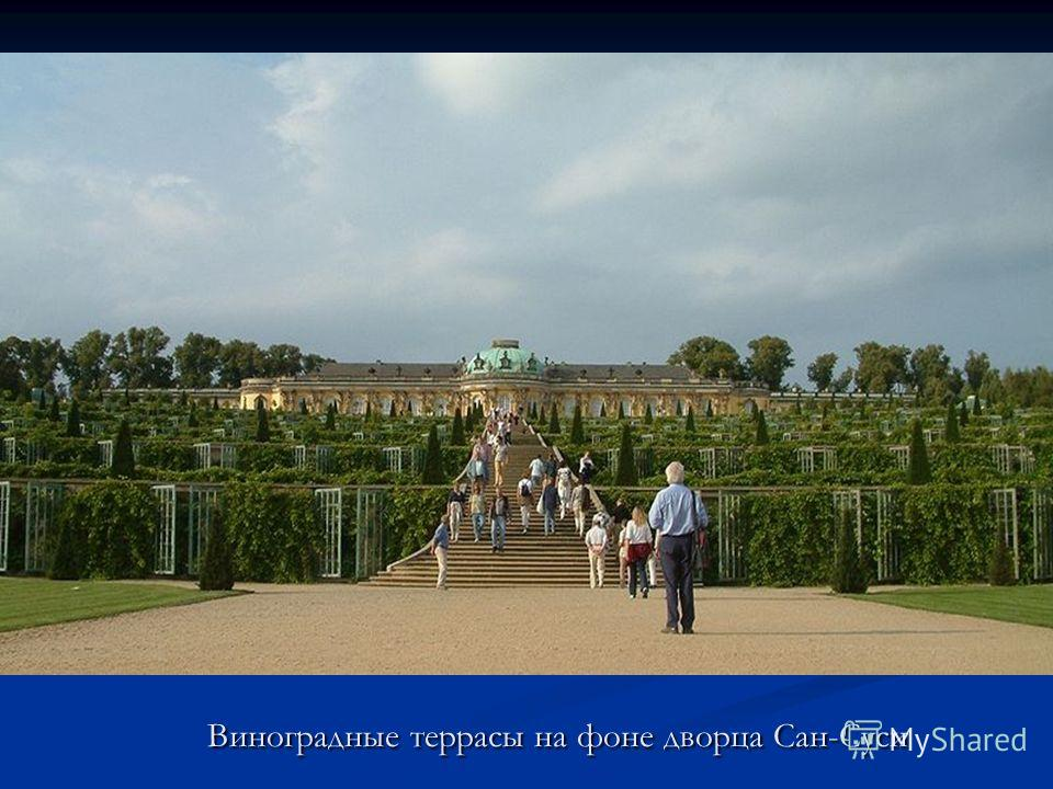 Виноградные террасы на фоне дворца Сан-Суси