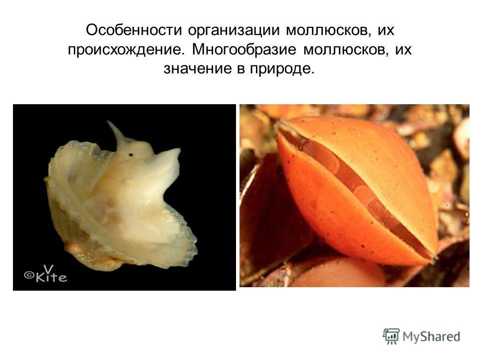 Особенности организации моллюсков, их происхождение. Многообразие моллюсков, их значение в природе.