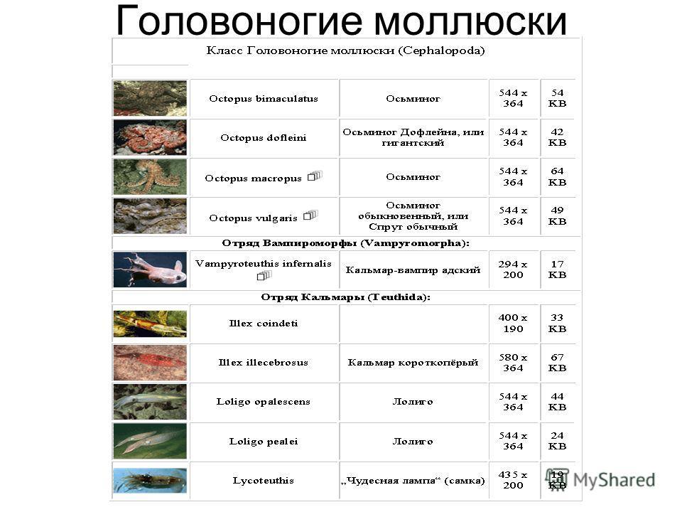 Головоногие моллюски