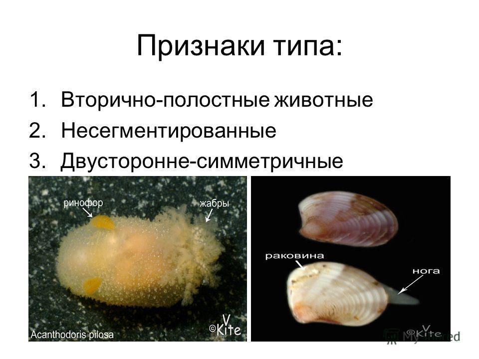 Признаки типа: 1.Вторично-полостные животные 2.Несегментированные 3.Двусторонне-симметричные