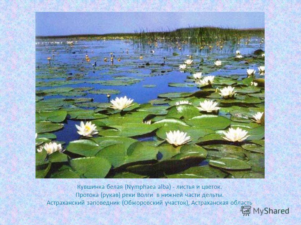 Кувшинка белая (Nymphaea alba) - листья и цветок. Протока (рукав) реки Волги в нижней части дельты. Астраханский заповедник (Обжоровский участок), Астраханская область