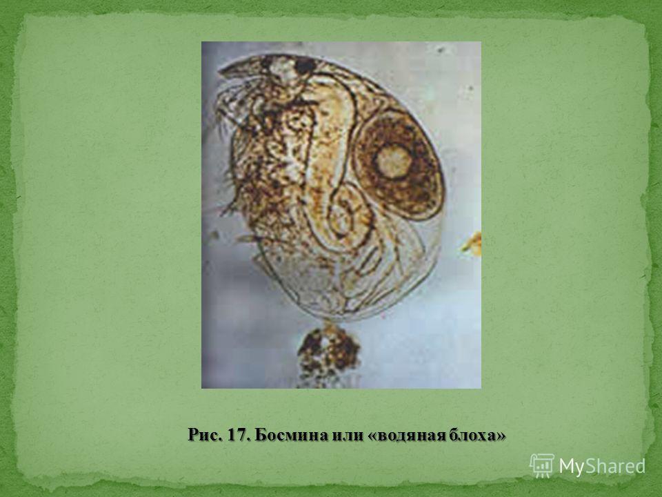 Рис. 17. Босмина или «водяная блоха»