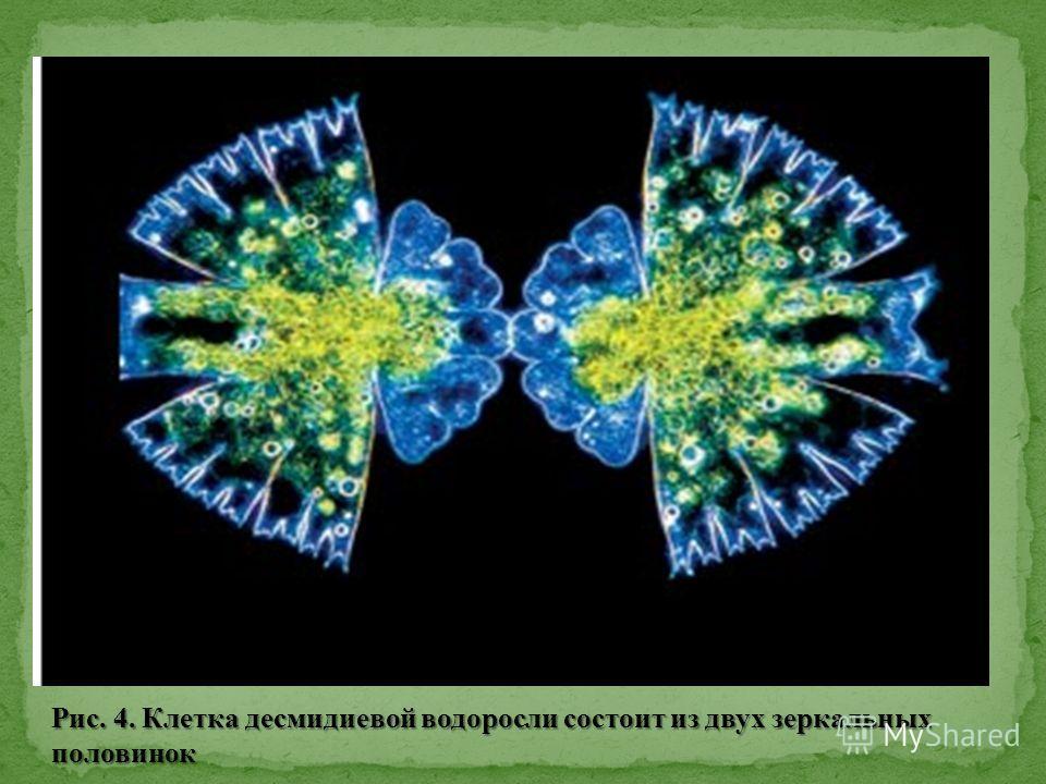 Рис. 4. Клетка десмидиевой водоросли состоит из двух зеркальных половинок