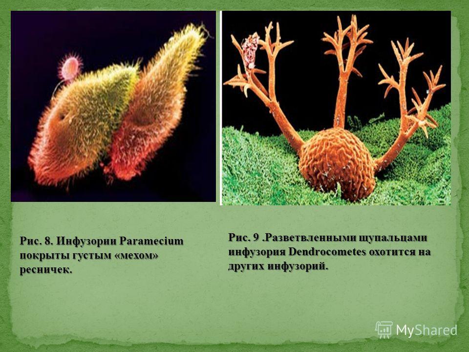 Рис. 9.Разветвленными щупальцами инфузория Dendrocometes охотится на других инфузорий. Рис. 8. Инфузории Paramecium покрыты густым «мехом» ресничек.