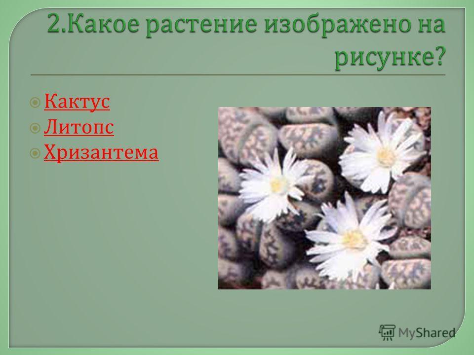 Кактус Литопс Хризантема