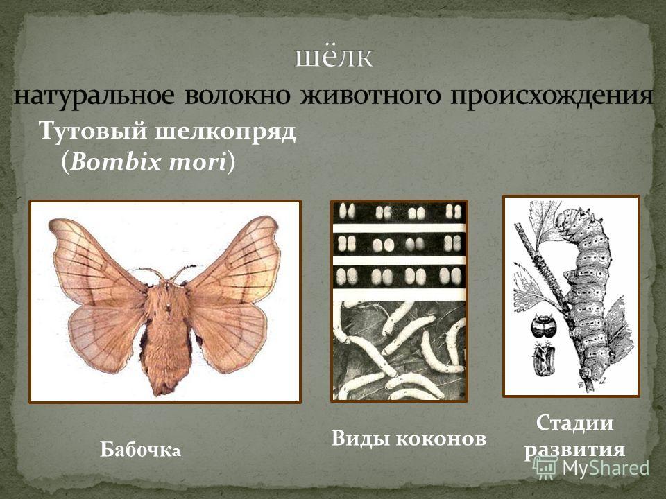 Тутовый шелкопряд (Bombix mori) Стадии развития Виды коконов Бабочк а