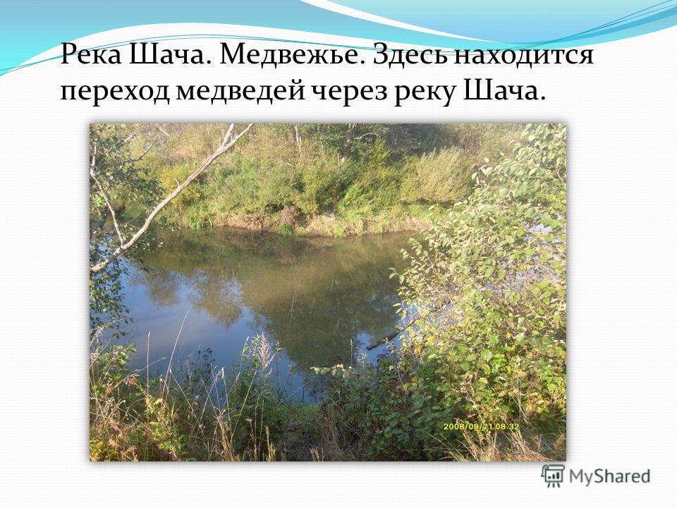 Река Шача. Медвежье. Здесь находится переход медведей через реку Шача.