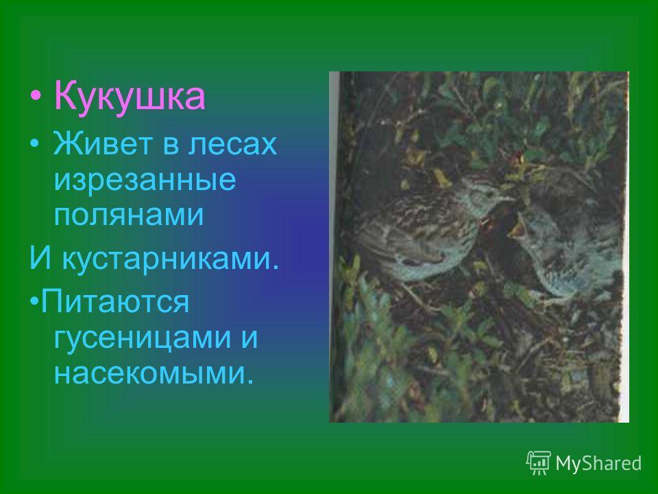 Кукушка Живет в лесах изрезанные полянами И кустарниками. Питаются гусеницами и насекомыми.