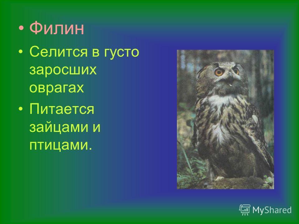 Филин Селится в густо заросших оврагах Питается зайцами и птицами.