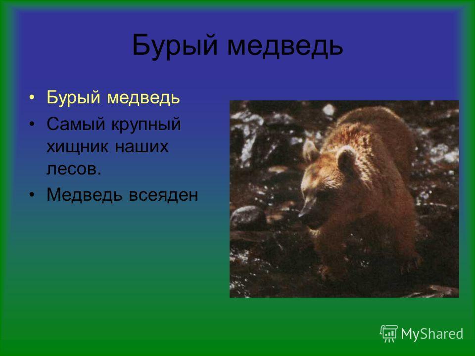 Бурый медведь Самый крупный хищник наших лесов. Медведь всеяден