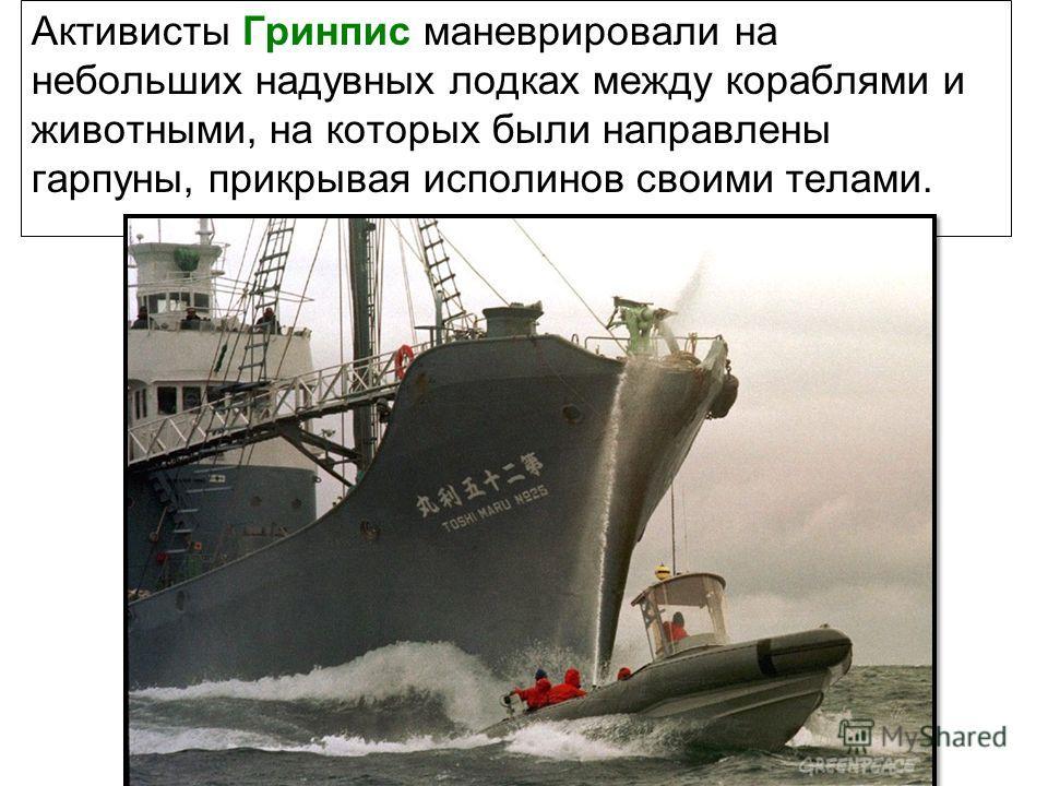 Активисты Гринпис маневрировали на небольших надувных лодках между кораблями и животными, на которых были направлены гарпуны, прикрывая исполинов своими телами.