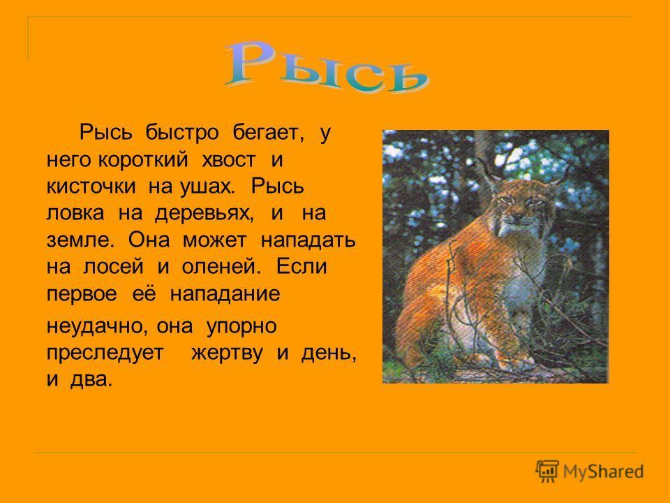 Рысь быстро бегает, у него короткий хвост и кисточки на ушах. Рысь ловка на деревьях, и на земле. Она может нападать на лосей и оленей. Если первое её нападание неудачно, она упорно преследует жертву и день, и два.
