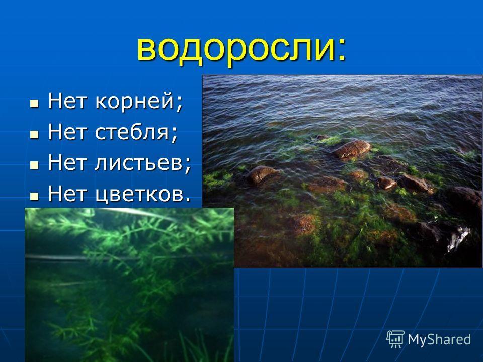 водоросли: Нет корней; Нет корней; Нет стебля; Нет стебля; Нет листьев; Нет листьев; Нет цветков. Нет цветков.