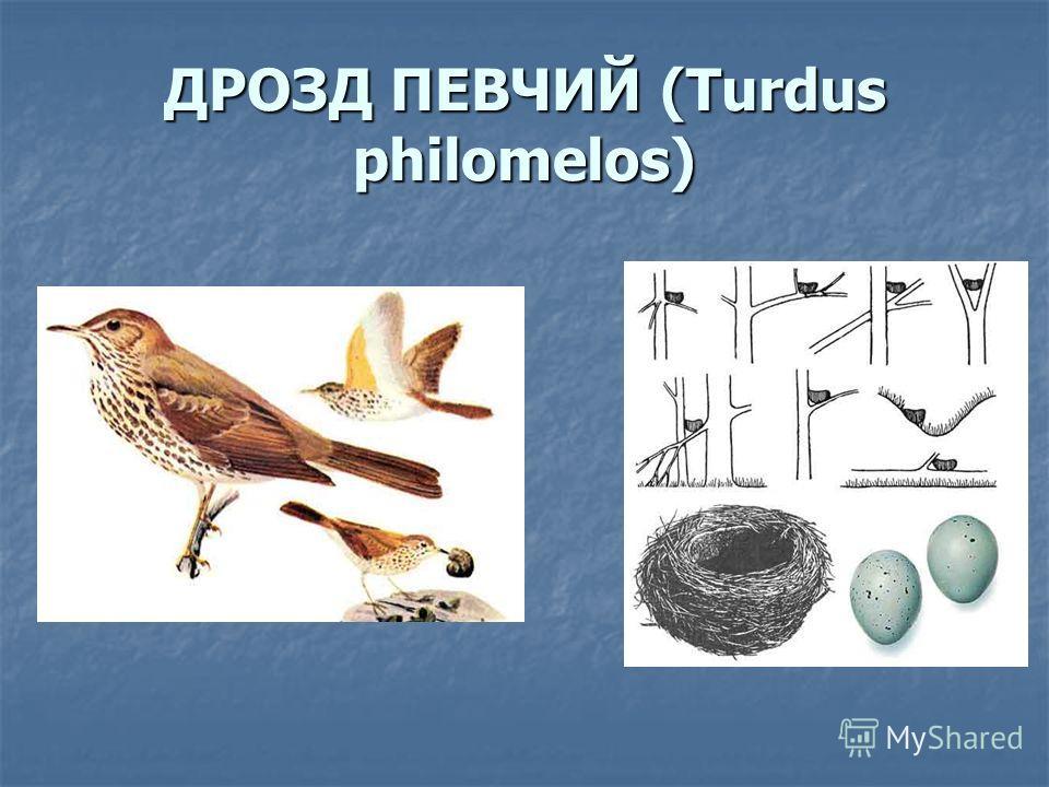ДРОЗД ПЕВЧИЙ (Turdus philomelos)