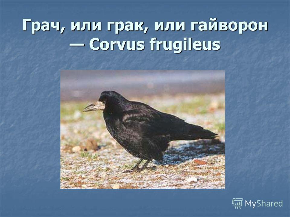 Грач, или грак, или гайворон Corvus frugileus