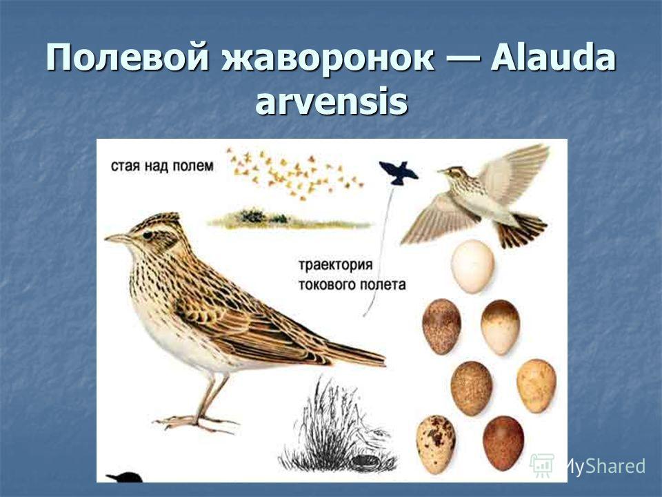Полевой жаворонок Alauda arvensis