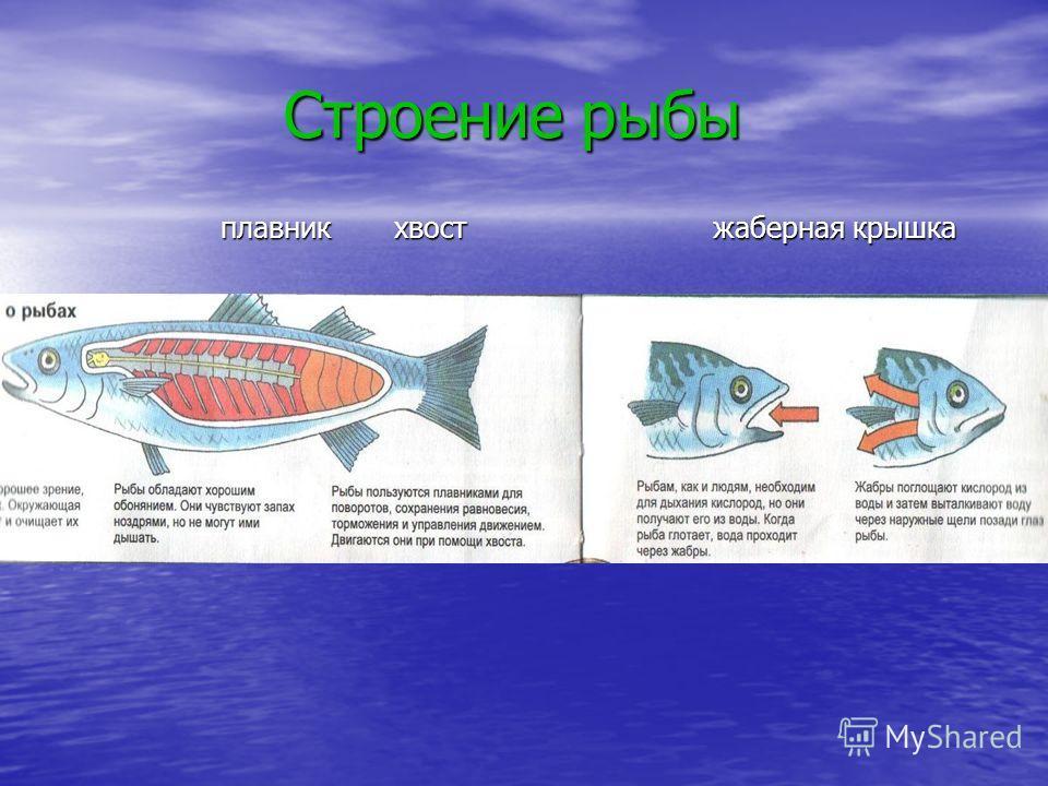 Строение рыбы Строение рыбы плавник хвост жаберная крышка
