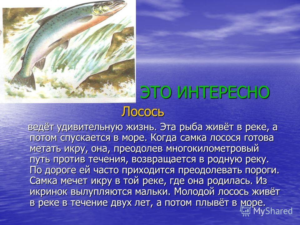 ЭТО ИНТЕРЕСНО ЭТО ИНТЕРЕСНО Лосось Лосось ведёт удивительную жизнь. Эта рыба живёт в реке, а потом спускается в море. Когда самка лосося готова метать икру, она, преодолев многокилометровый путь против течения, возвращается в родную реку. По дороге е