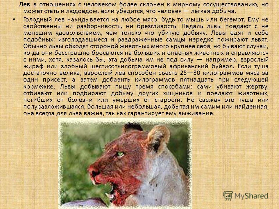Лев в отношениях с человеком более склонен к мирному сосуществованию, но может стать и людоедом, если убедится, что человек легкая добыча. Голодный лев накидывается на любое мясо, будь то мышь или бегемот. Ему не свойственны ни разборчивость, ни брез
