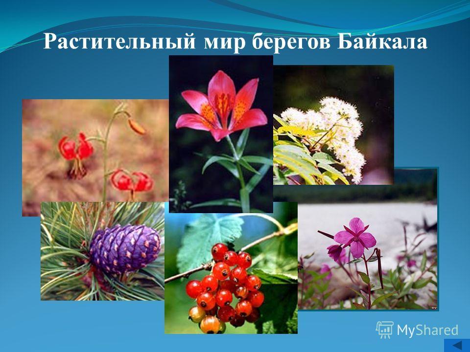 Растительный мир берегов Байкала