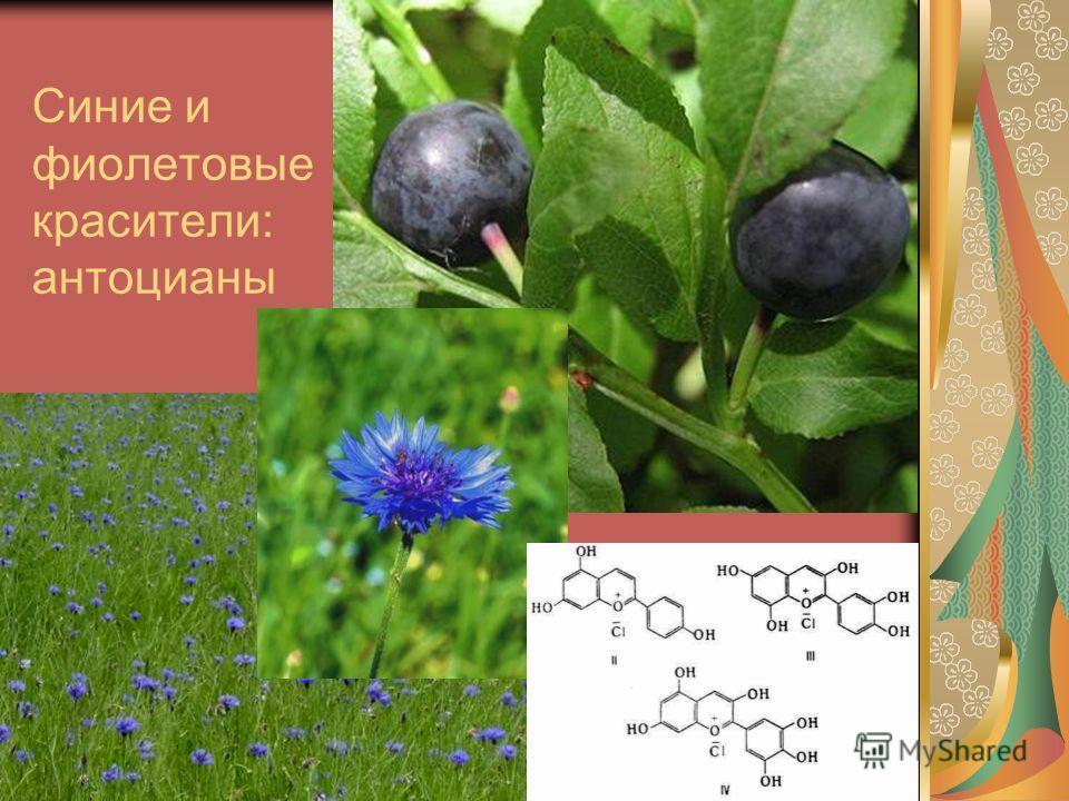 Синие и фиолетовые красители: антоцианы