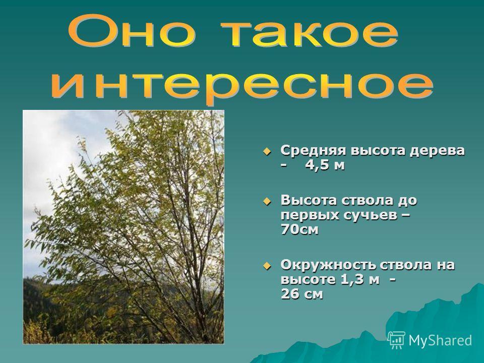 Средняя высота дерева - 4,5 м Средняя высота дерева - 4,5 м Высота ствола до первых сучьев – 70см Высота ствола до первых сучьев – 70см Окружность ствола на высоте 1,3 м - 26 см Окружность ствола на высоте 1,3 м - 26 см
