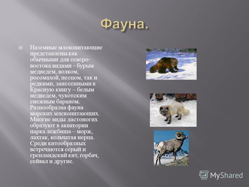 Наземные млекопитающие представлены как обычными для северо - востока видами - бурым медведем, волком, росомахой, песцом, так и редкими, занесенными в Красную книгу – белым медведем, чукотским снежным бараном. Разнообразна фауна морских млекопитающих
