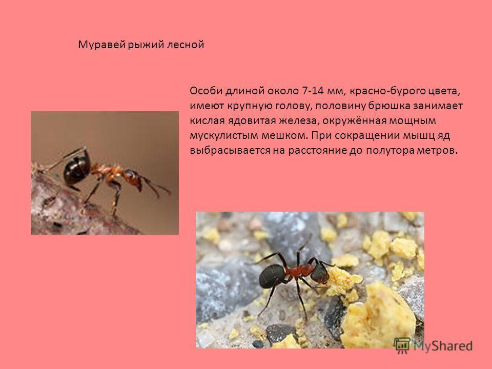 Особи длиной около 7-14 мм, красно-бурого цвета, имеют крупную голову, половину брюшка занимает кислая ядовитая железа, окружённая мощным мускулистым мешком. При сокращении мышц яд выбрасывается на расстояние до полутора метров. Муравей рыжий лесной