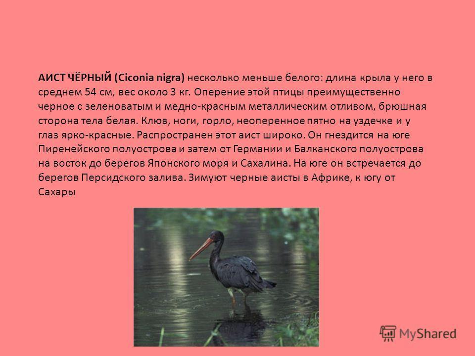 АИСТ ЧЁРНЫЙ (Ciconia nigra) несколько меньше белого: длина крыла у него в среднем 54 см, вес около 3 кг. Оперение этой птицы преимущественно черное с зеленоватым и медно-красным металлическим отливом, брюшная сторона тела белая. Клюв, ноги, горло, не
