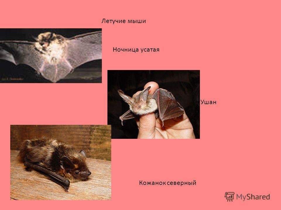 Летучие мыши Ночница усатая Ушан Кожанок северный