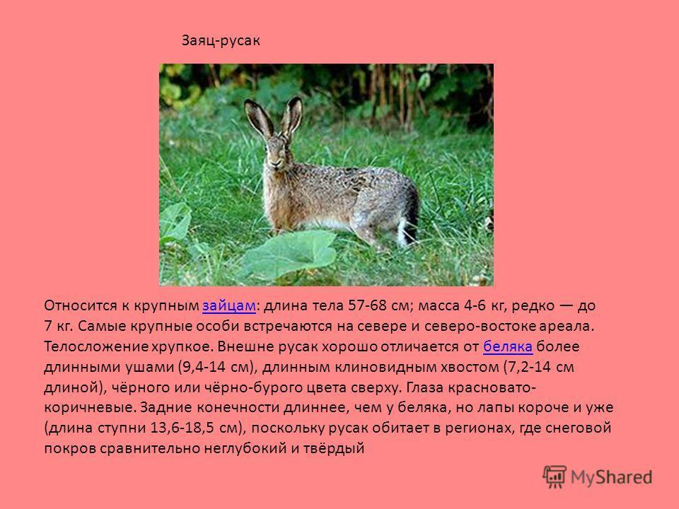 Относится к крупным зайцам: длина тела 57-68 см; масса 4-6 кг, редко до 7 кг. Самые крупные особи встречаются на севере и северо-востоке ареала. Телосложение хрупкое. Внешне русак хорошо отличается от беляка более длинными ушами (9,4-14 см), длинным
