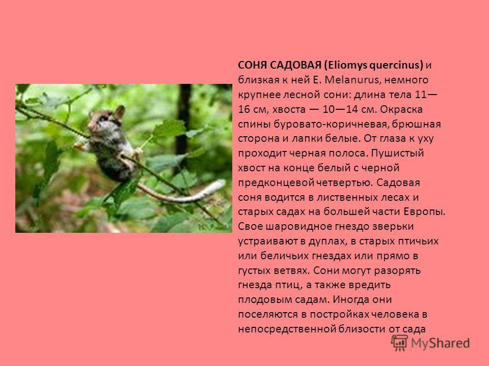 СОНЯ САДОВАЯ (Eliomys quercinus) и близкая к ней Е. Melanurus, немного крупнее лесной сони: длина тела 11 16 см, хвоста 1014 см. Окраска спины буровато-коричневая, брюшная сторона и лапки белые. От глаза к уху проходит черная полоса. Пушистый хвост н