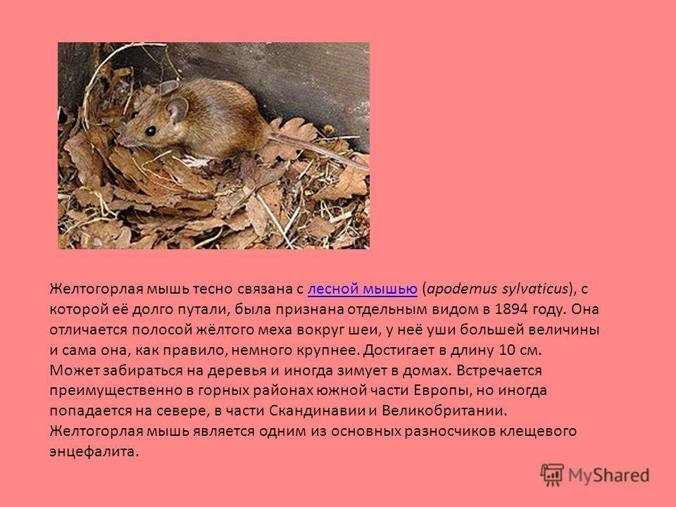 Желтогорлая мышь тесно связана с лесной мышью (apodemus sylvaticus), с которой её долго путали, была признана отдельным видом в 1894 году. Она отличается полосой жёлтого меха вокруг шеи, у неё уши большей величины и сама она, как правило, немного кру