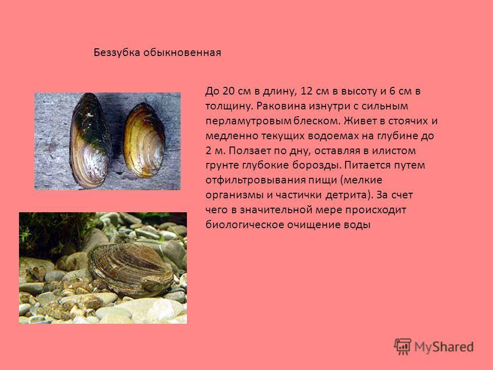 До 20 см в длину, 12 см в высоту и 6 см в толщину. Раковина изнутри с сильным перламутровым блеском. Живет в стоячих и медленно текущих водоемах на глубине до 2 м. Ползает по дну, оставляя в илистом грунте глубокие борозды. Питается путем отфильтровы