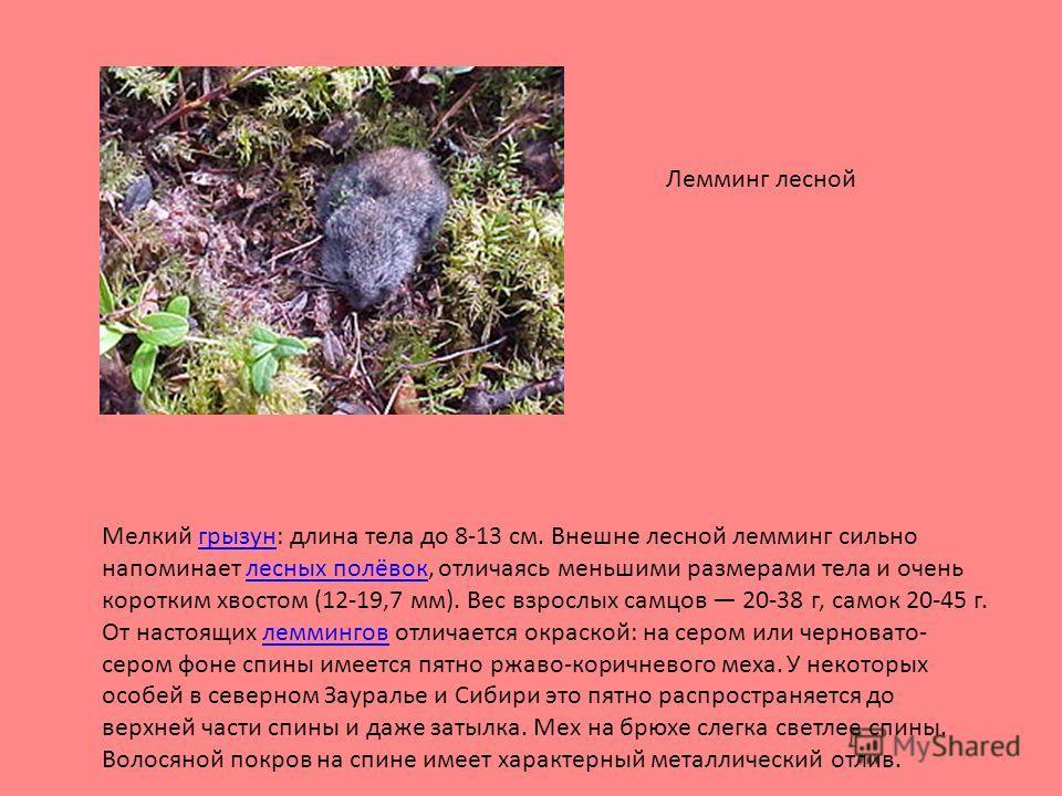 Мелкий грызун: длина тела до 8-13 см. Внешне лесной лемминг сильно напоминает лесных полёвок, отличаясь меньшими размерами тела и очень коротким хвостом (12-19,7 мм). Вес взрослых самцов 20-38 г, самок 20-45 г. От настоящих леммингов отличается окрас
